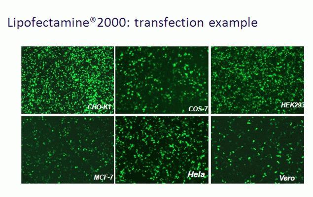 Lipofectamine® 2000 transfection example