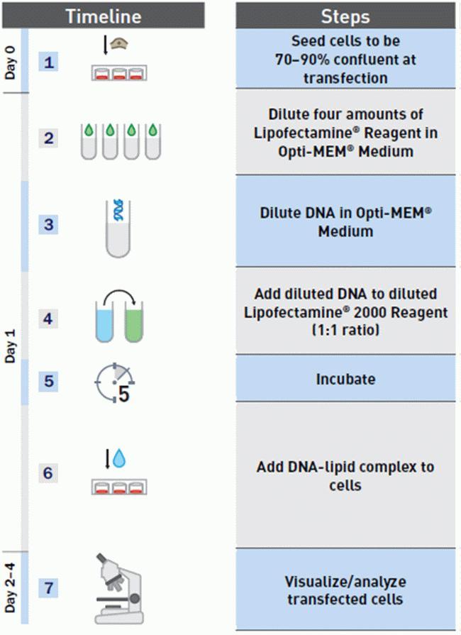 Lipofectamine® 2000 transfection protocol
